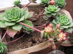 цветение и цветы Граптопеталум Парагвайский (Graptopetalum Paraguayense)    Стебли вначале прямостоячие, позднее стелющиеся. Листья обратнояйцевидные, заостренные на конце, длиной 5-8 см, розовато-серые, образуют розетки на концах стеблей. Цветки белые, с немногочисленными красными полосками на конце лепестков. Синоним: Очиток Вайнберга (Sedum weinbergii).