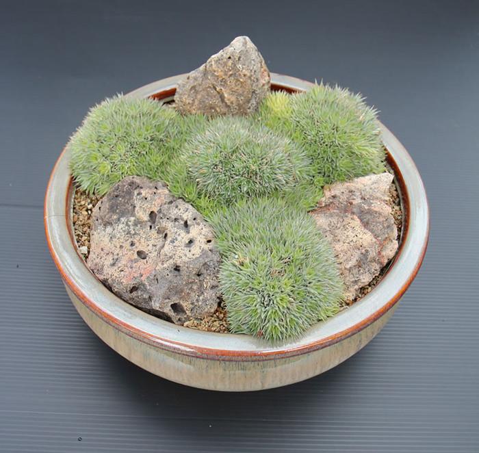 Дейтерокохния (Deuterocohnia, Абромеитиелла) - небольшой род суккулентных растений семейства Бромелиевые. Родом дейтерокохнии из Южной Америки. Некоторые виды когда-то относили к роду Абромеитиелла (Abromeitiella)