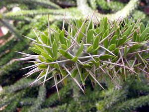 У Didierea trollii (Дидиерея Тролли) стебель слегка ветвится, листья закруглены на концах, по длине сравнимы с колючками - около 2 см.