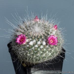 Маммиллярия Хана, Mammillaria hahniana, фотографии и уход за кактусом.