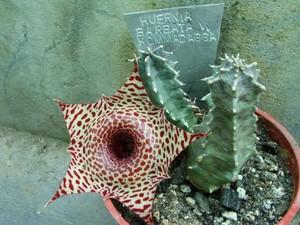 Гуэрния Бородатая (Huernia Barbata)     Стебли 4-5-гранные, длиной 2-6 см, с острыми зубчиками. Диаметр цветков - около 5 см. Цветки опушенные, сернисто-желтые или светло-коричневые, с красными пятнами и полосками.