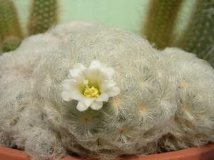 Маммиллярия перистая, Mammillaria plumosa