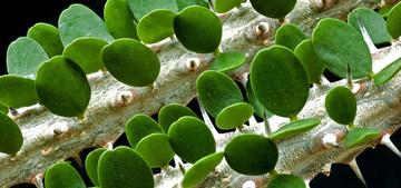 Аллюодия - род назван в честь французского политика XIX в. Ф. Аллюода. Аллюодия принадлежит семейству Дидиереевые. Как и все растения этого семейства, аллюодии - эндемики о-ва Мадакаскар.