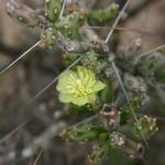 Цилиндропунция Кляйна — Cylindropuntia / Opuntia kleiniae
