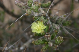 Кактус Цилиндропунция Кляйна - Cylindropuntia / Opuntia kleiniae, описание и фото