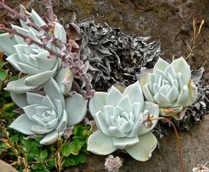 Дудлея Мучнистая (Dudleya Farinosa) - Фотографии    Образует простые или разветвленные стебли с розетками 5-10 см в поперечнике. Листья зеленые, обычно беловато припудренные. Цветки желтые, на цветоносах длиной до 35 см.