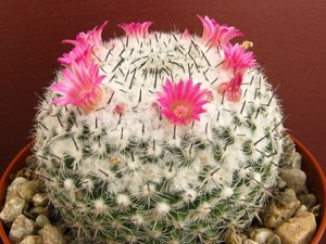 Маммиллярия - Mammillaria acanthoplegma. Описание уход и фотографии вида кактуса Маммиллярия - Mammillaria acanthoplegma