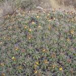 Ферокактус мощный — Ferocactus robustus
