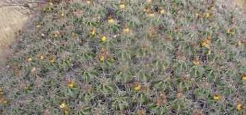 Кактус Ферокактус мощный - Ferocactus robustus, описание и фото