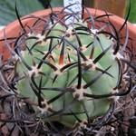 Эриосице рогатая — Eriosyce ceratistes