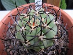 Кактус Эриосице рогатая - Eriosyce ceratistes, описание и фото