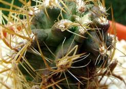 Austrocactus-philippii-vi