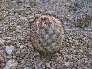 Кактус Эскобария Альверсона - Escobaria alversonii, описание и фото