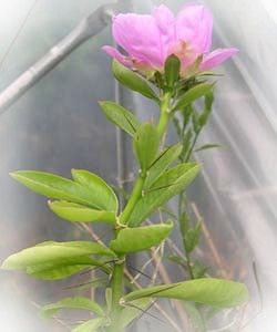 pereskia sacharosa, кактус, переския, родина кактуса