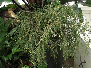 Кактус Хатиора саликорниевидная - Hatiora salicornioides, описание и фото