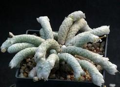 Avonia aff papyracea ssp namaensis, w Rooiberg (Авония бумагоподобная)