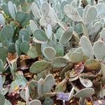 Опунция Шеера — Opuntia scheeri