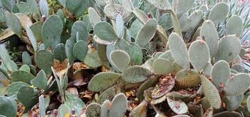 Опунция Шеера, Opuntia scheeri