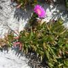 Карпобротус ягодовидный