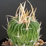 Эхинофоссулокактус крупнорогий — Echinofossulocactus grandicornis