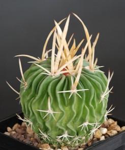 Кактус Эхинофоссулокактус крупнорогий - Echinofossulocactus grandicornis, описание и фото