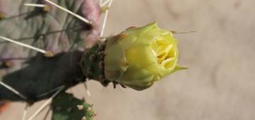 Опунция крупнокорневая, Opuntia macrorhiza