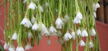 Рипсалис, булавовидный, Rhipsalis, clavata, кактус, фото, описание, уход