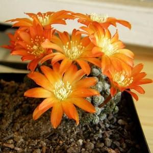 Aylostera heliоsa, описание фото, кактусы, айлостера солнечная
