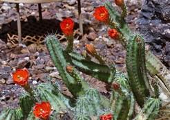 Кактус Эхиноцереус - Echinocereus scheeri, описание и фото