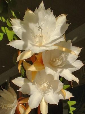 Кактус Эпифиллум угловатый - Epiphyllum anguliger, описание и фото