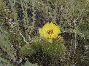 Опунция многоколючковая, Opuntia polyacantha