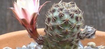 rebutia-leucanthema1