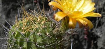кактус Лобивия, Lobivia, Echinopsis chrysochete