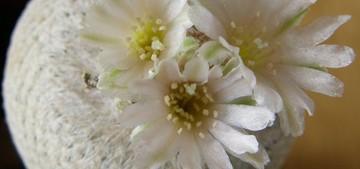 Кактус Эпителанта - Epithelantha bokei, описание и фото