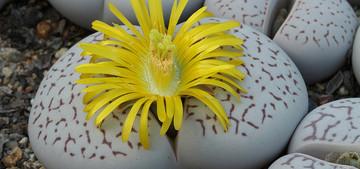 Динтерантус (сем. Аизовые) - суперсуккулентное растение, которое наряду с литопсами и конофитумами относят к группе «живых камней». Род назван по имени Морица Динтера, который внес большой вклад в изучение флоры пустыни Намиб.