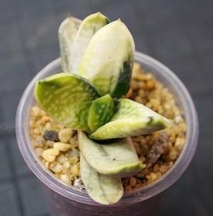 Гастерия Мраморная (Gasteria Marmorata)    Листья широкие, языковидные, зеленые, с серебристыми пятнами. Собраны в двухрядную розетку, которая с возрастом становится спиральной.