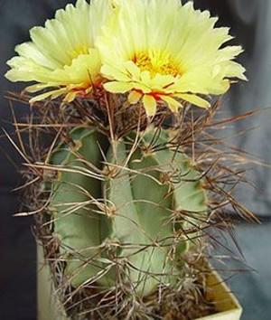 Астрофитум старческий - Astrophyrum senile, описание кактуса