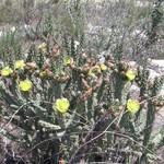 Опунция Парри — Opuntia parryi