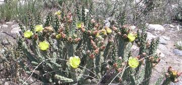 Опунция Парри, Opuntia parryi