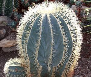 Кактус Ферокактус голубеющий - Ferocactus glaucescens, описание и фото