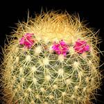 Маммилярия розово-красная — Mammillaria rhodantha