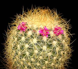 Маммилярия розово-красная - Mammillaria rhodantha. Уход, описание и фотографии вида кактуса Маммилярия розово-красная - Mammillaria rhodantha