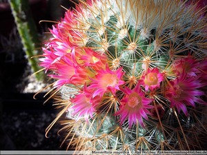 Маммиллярня великолепная, Mammillaria magnifica