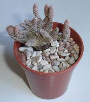 кактус Майуэниопсис дубиновидный, Maihueniopsis clavarioides