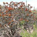 Цилиндропунция разноцветная — Cylindropuntia versicolor