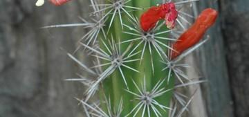 Стеноцереус, Ратбуния, аламоценская, Rathbunia, alamosensis, кактус, фото, описание, уход