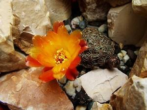 Кактус Сулькоребуция - Sulcorebutia canigueralii, описание и фото