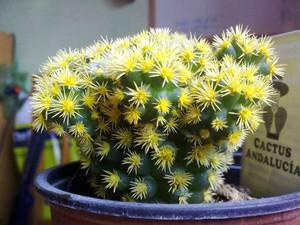 Цветные кактусы - это легко, нам нужен главное наличие качественный пищевой краситель.поистине великолепное рукотворное чудо. И немного терпения, и в Вашем доме скоро появятся цветные кактусы.