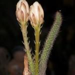 Пениоцереус извилистый — Peniocereus serpentinus