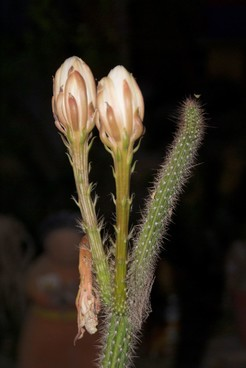 Пениоцереус извилистый, Peniocereus serpentinus